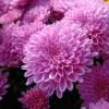 Размножение хризантем, уход за хризантемами